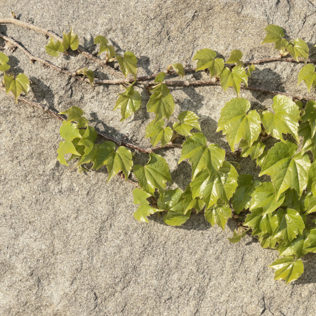 """""""Vines on Wall"""" stock image"""