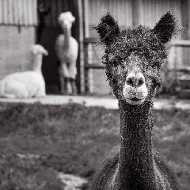 """A Curious Alpaca"" stock image"