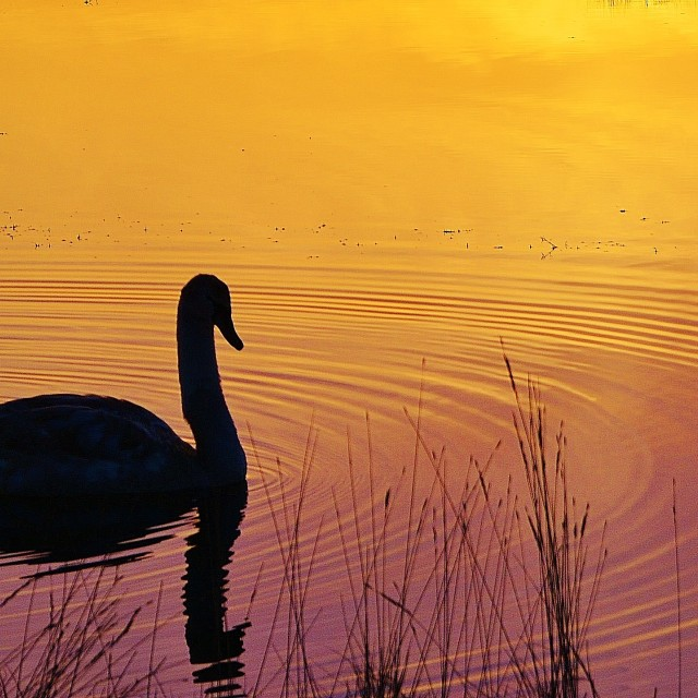 """Swan in sunset."" stock image"
