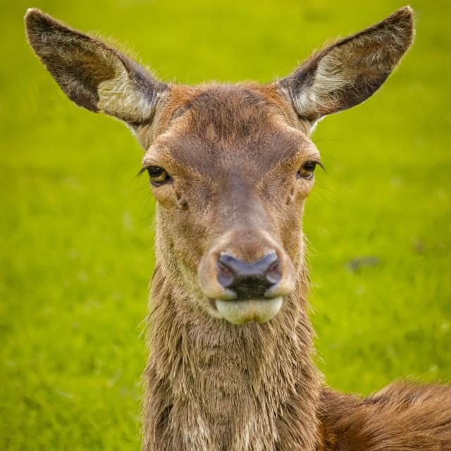 """Female red deer"" stock image"
