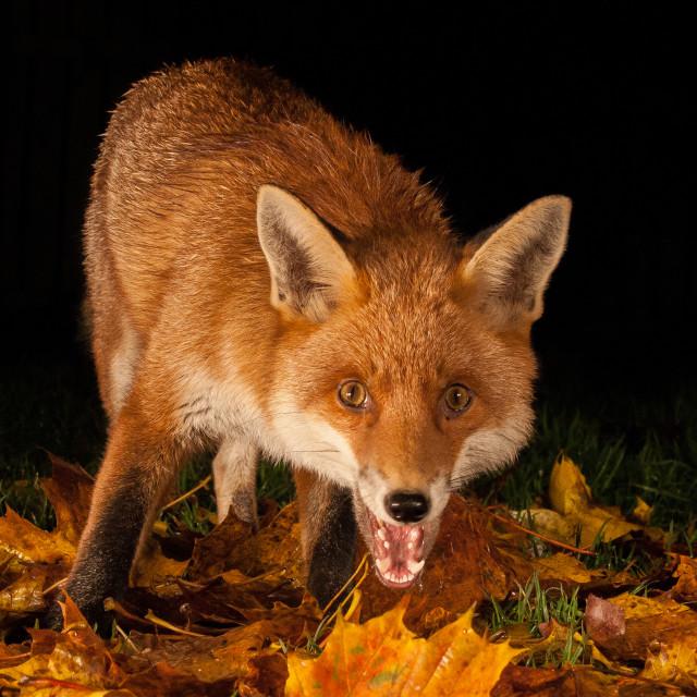 """Autumn fox"" stock image"