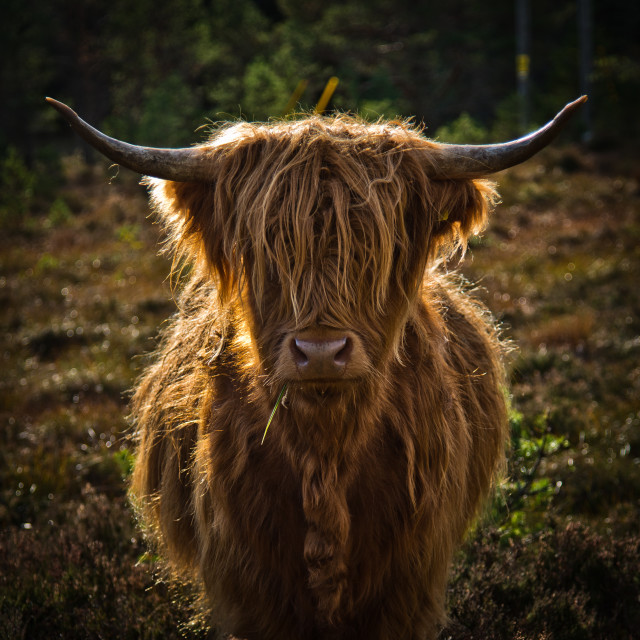 """Highland Cow 2"" stock image"