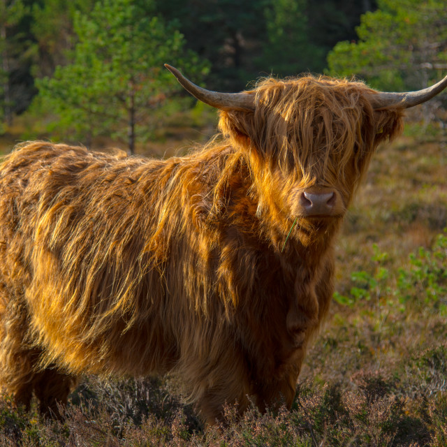 """Highland Cow 1"" stock image"