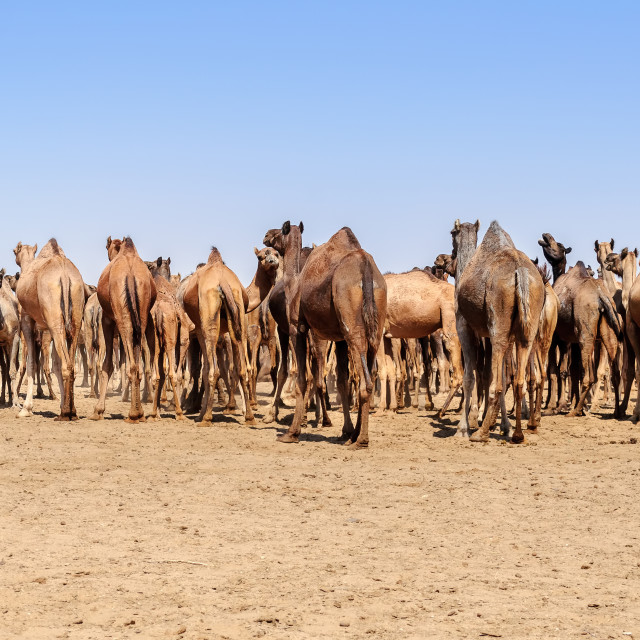 """Herd of Indian Camels, Camelus dromedarius,"" stock image"