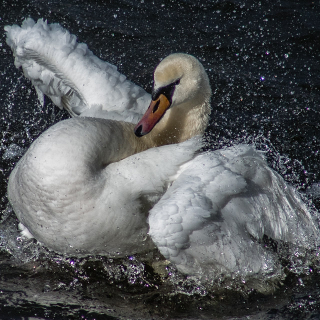 """Feisty Swan"" stock image"