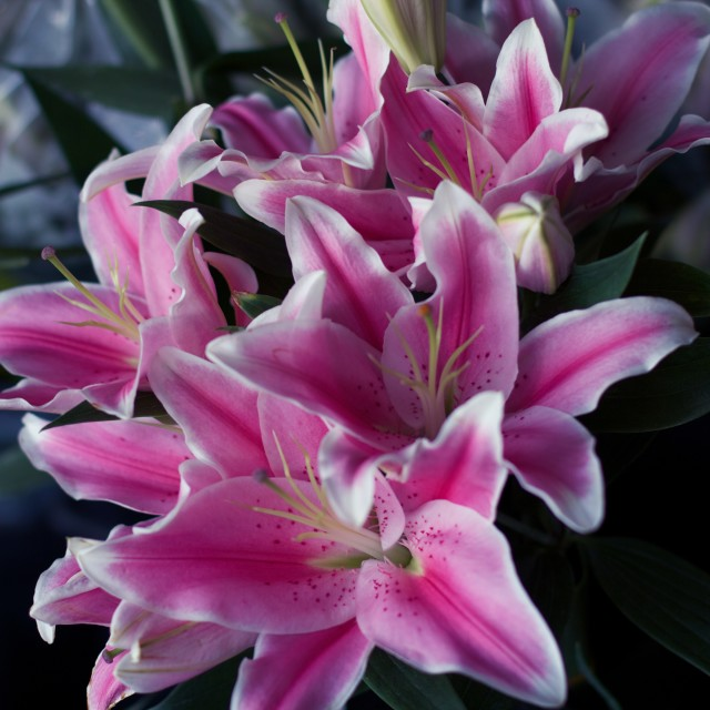 """Lillies"" stock image"