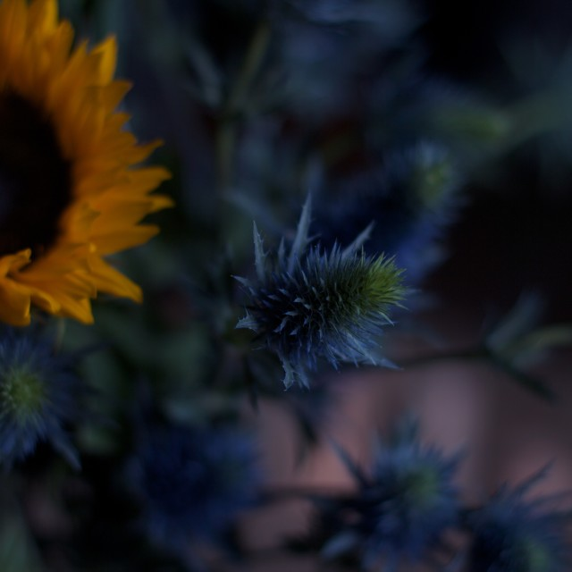 """Sunflower & Thistle"" stock image"