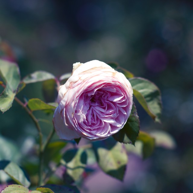 """Moody Rose"" stock image"