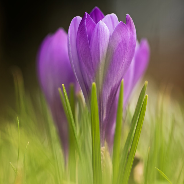 """Spring Crocuses"" stock image"