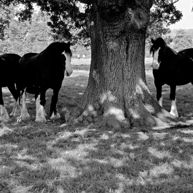 """Shire horses seeking shade"" stock image"