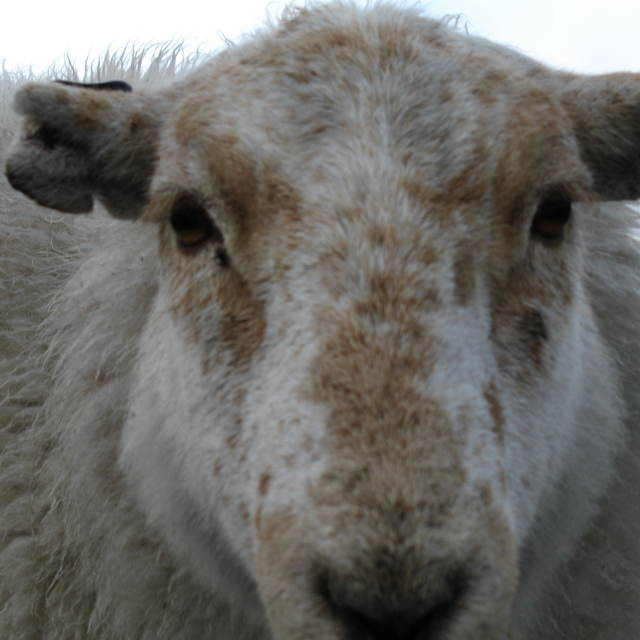 """Here's Looking at Ewe"" stock image"