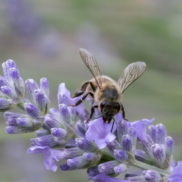 """Bee on lavender flower spike"" stock image"