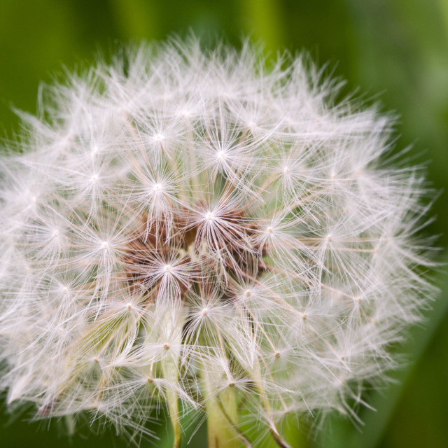 """Dandelion up close"" stock image"