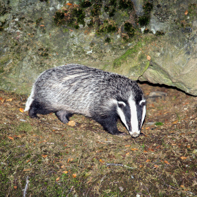 """Badger"" stock image"