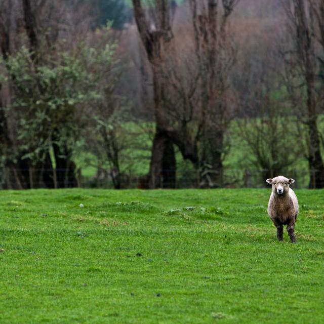 """Sheep in the rain"" stock image"