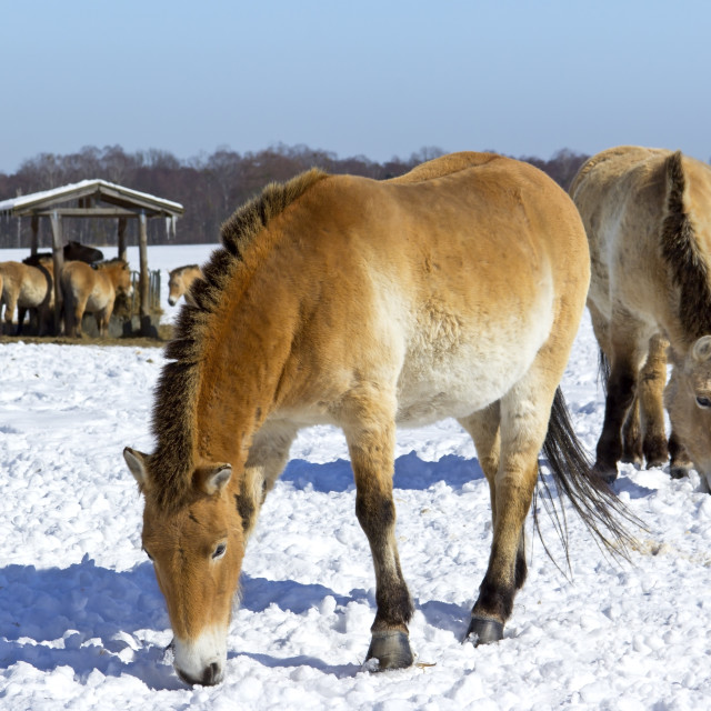 """Przewalski's horses in a wildlife park"" stock image"