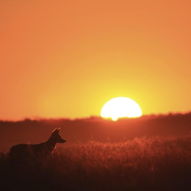 """""""Kalahari Sunset with Jackal"""" stock image"""