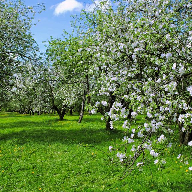 """May Apple Garden in Bloom"" stock image"