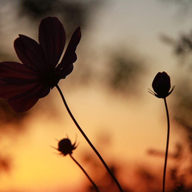 """Flowers at sunset"" stock image"