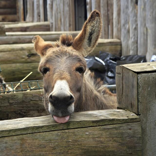 """Cheeky Donkey"" stock image"
