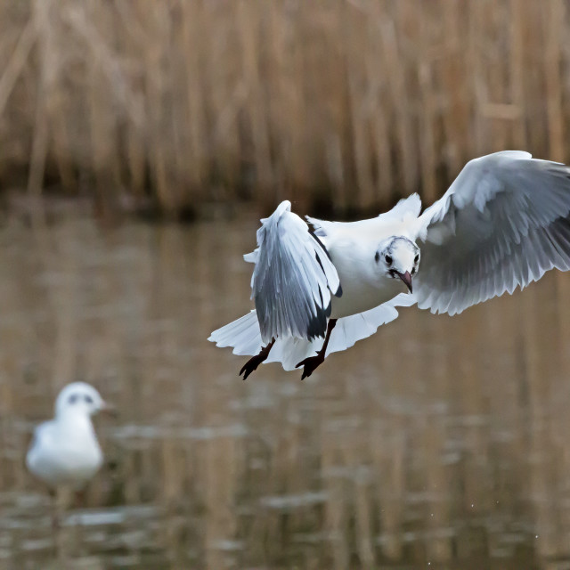 """""""Black Headed Gull."""" stock image"""