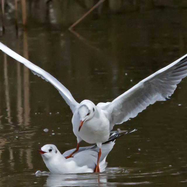 """Two Black Headed Gulls"" stock image"