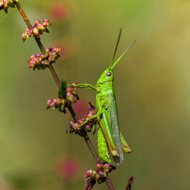 """Green Grasshopper on branch"" stock image"