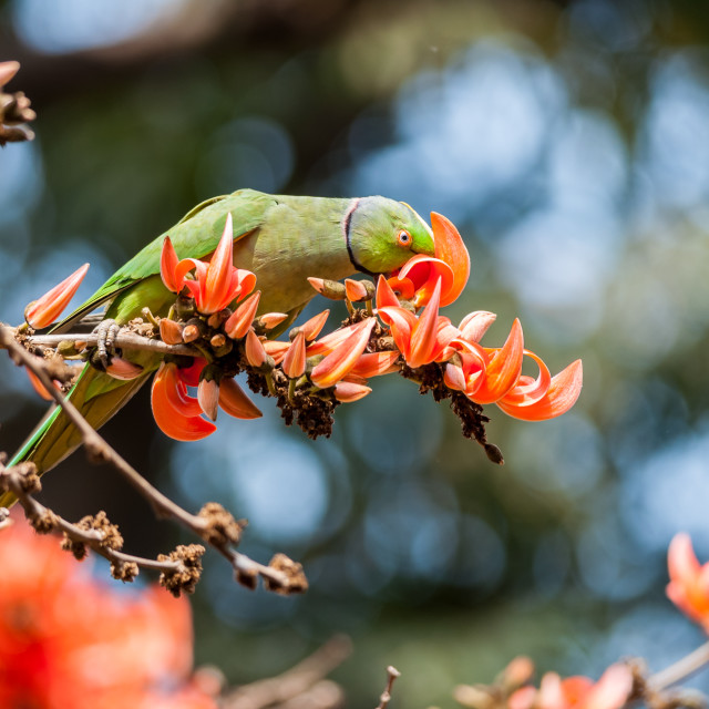 """""""Rose-ringed Parakeet amongst flame of the forest flower"""" stock image"""