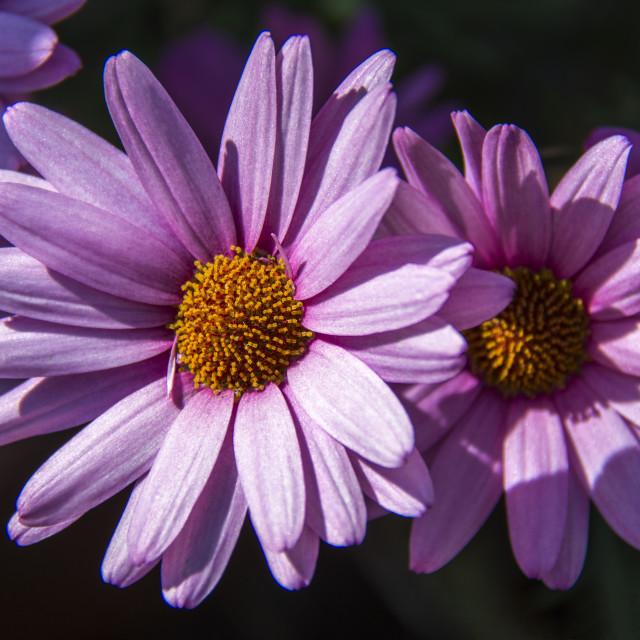 """Vibrant purple flowers"" stock image"