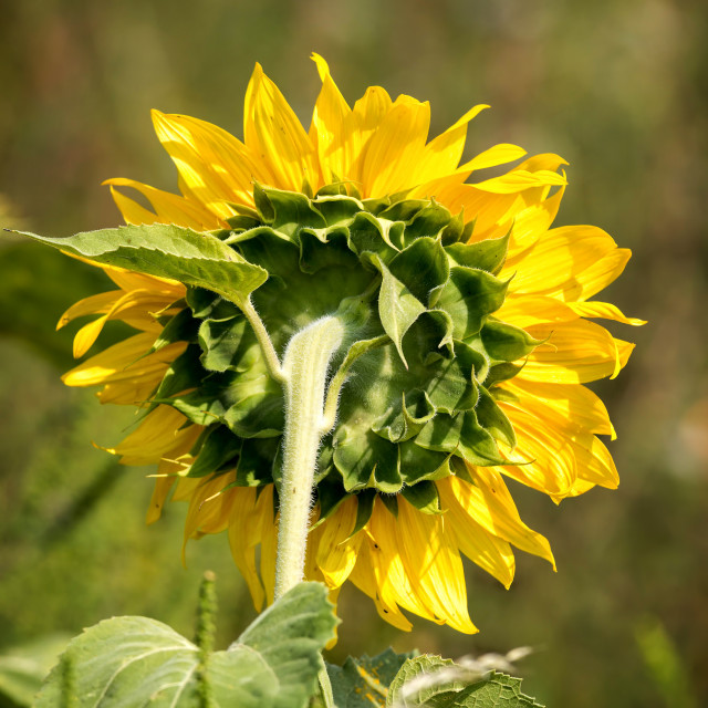 """""""Close up of a mature sunflower"""" stock image"""