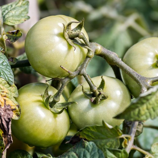 """Tomatoes"" stock image"