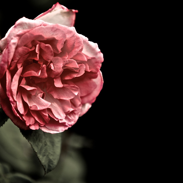 """""""Pink Rose"""" stock image"""