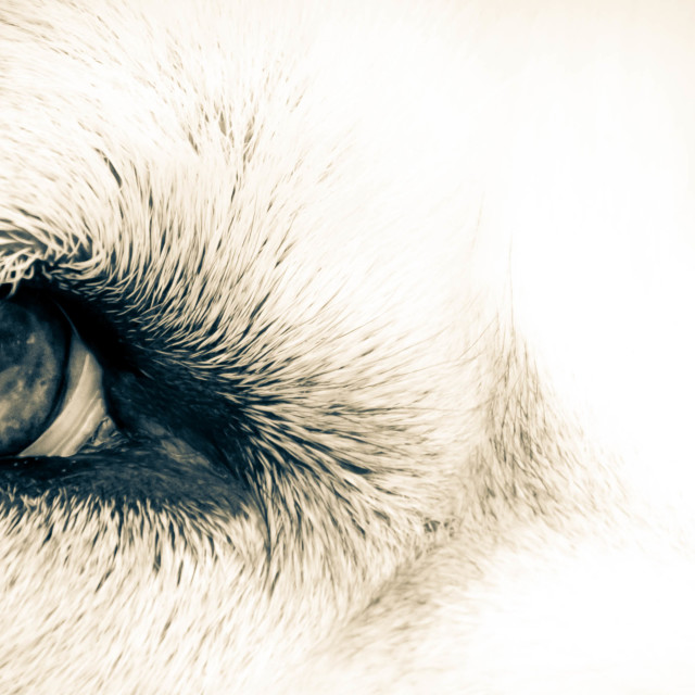 """Husky Eyes"" stock image"