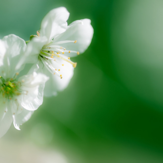 """Apple blossom closeup"" stock image"