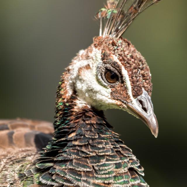 """Blue peafowl (Pavo cristatus)"" stock image"