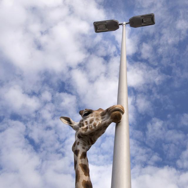 """""""Giraffelove"""" stock image"""