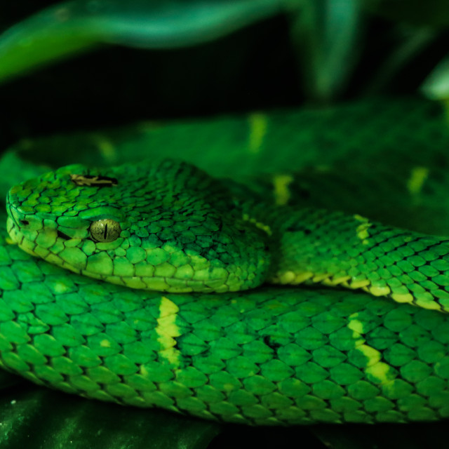 """Side-striped pit viper (bothriechis lateralis)"" stock image"