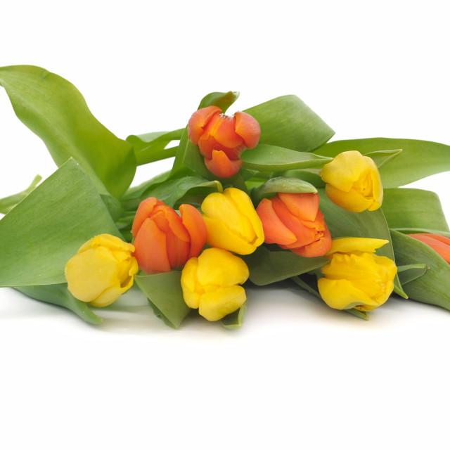 """pretty tulips"" stock image"