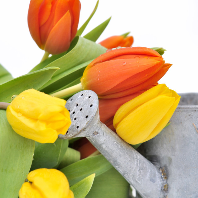 """tulips and watering can"" stock image"