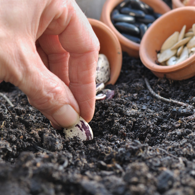 """sowing beans"" stock image"