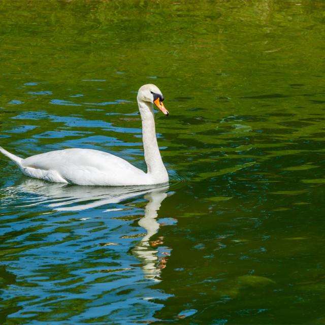 """""""Mute Swan Cygnus olor in lake"""" stock image"""