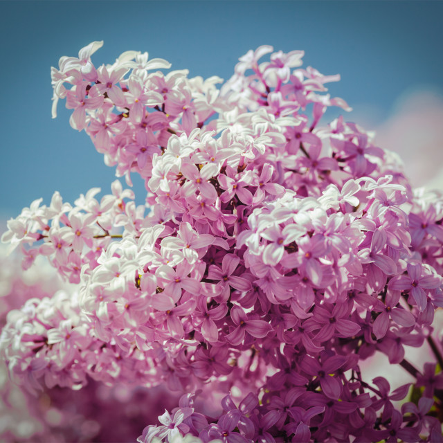 """""""Lilac in spring"""" stock image"""