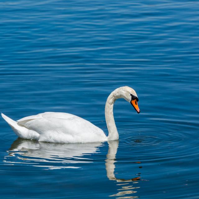 """""""Mute Swan (Cygnus olor) in lake"""" stock image"""