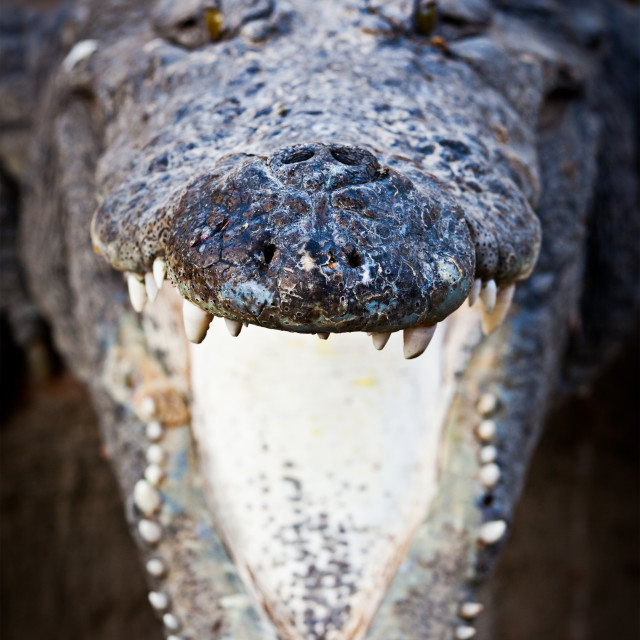 """Charging crocodile jaws"" stock image"