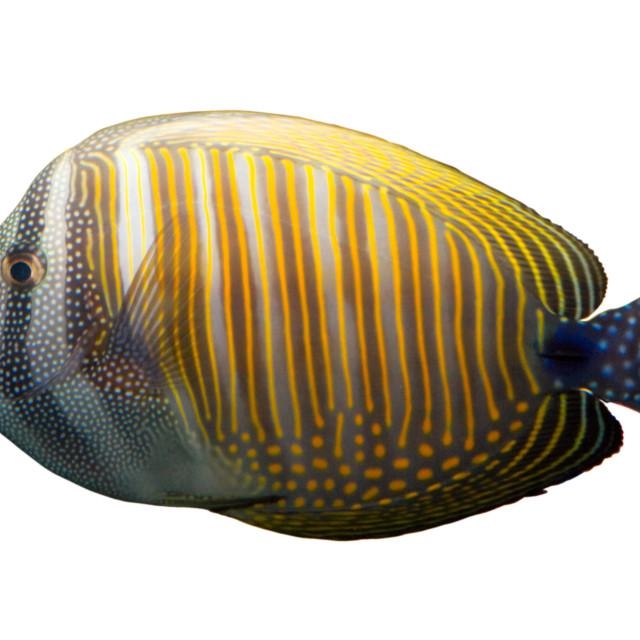 """Tropical coral fish"" stock image"
