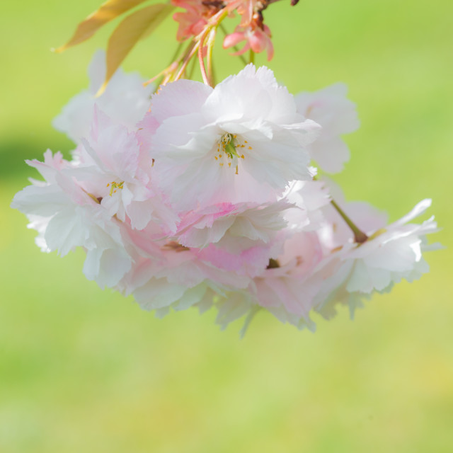 """""""Dreaming Blossom"""" stock image"""
