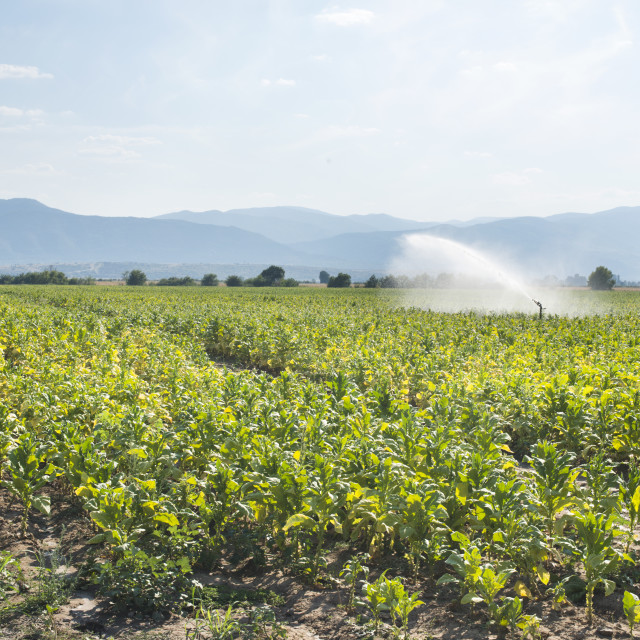 """Tobacco plantation and irrigation"" stock image"