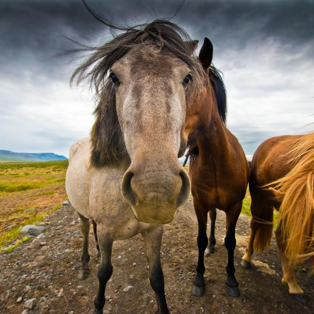 """""""Icelandic Horses"""" stock image"""