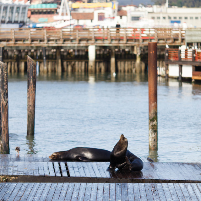 """""""Seal in Pier 39"""" stock image"""