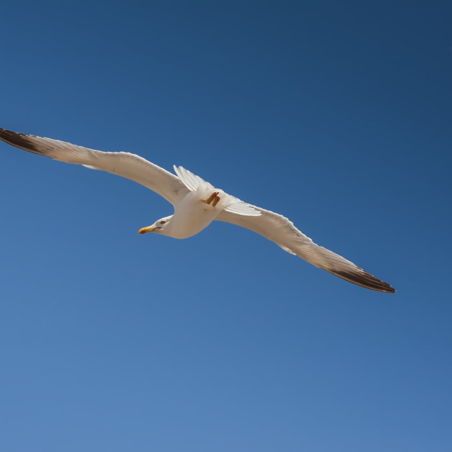 """""""seagull flying over sea"""" stock image"""